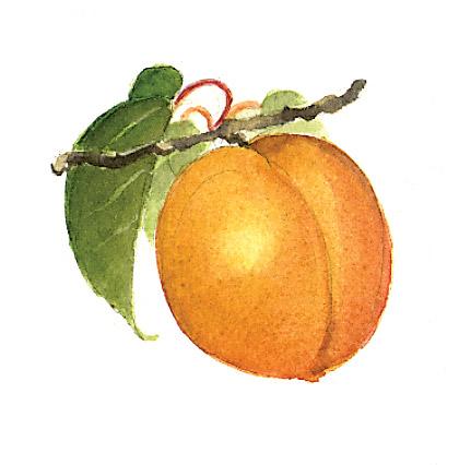 MOSS-Apricot